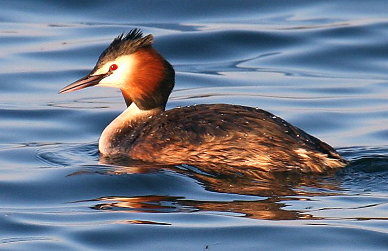 Great Crested Grebe is one of the most beautiful types in the wetlands of sulduz